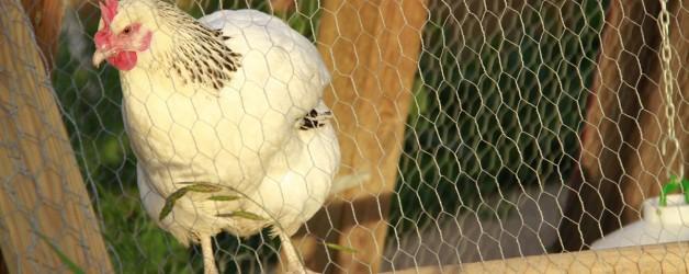 Curs avicultura ecològica